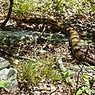 Timber Rattlesnake by Ontiora in Snakes