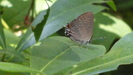 Hair Streak - Butterfly by String Bean in Other