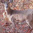 deer in harriman