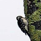 hairy woodpecker by hikerboy57 in Birds