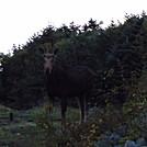 close encounter by hikerboy57 in Moose