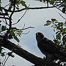 red tail hawk by hikerboy57 in Birds