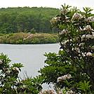 mountain laurel by hikerboy57 in Flowers