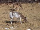 Very White Whitetail Deer