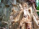 Bear Fur, Claw and Teeth marks on a bear gnawed White Pine
