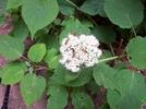 Beetles on Hydrangea by Furlough in Trail & Blazes in Virginia & West Virginia