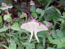 Luna Moth Just North Of Pinefield Hut