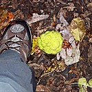 Osage Orange at Rod Hollow Shelter Nov 2011 Front Royal to Harpers Ferry by Furlough in Trail & Blazes in Virginia & West Virginia