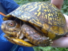 Eastern Box Turtle On The Trail by CatchUp in Other