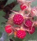 Red Raspberrys by Deerleg in Other