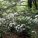 Mountain Laurels on Ledge Above Lower Race Brook Falls by Driver8 in Flowers