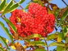 Mountain Ash by Pennsylvania Rose in Flowers