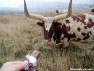 Famous Long Horn Steer Snickers Pic by RITBlake in Other
