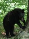 Black Bear by Lobo in Bears
