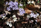 Hepatica by Lobo in Flowers