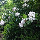 Mountain Laurel by Cotton Terry in Flowers
