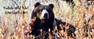 Interior Alaska Grizzly Bear by Kodiaks Wild Side! in Bears