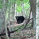 Black Bear by rjhouser in Bears