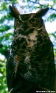Long Earred Owl