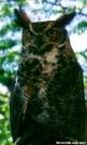 Long Earred Owl by TJ aka Teej in Birds