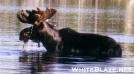 Baxter Moose by TJ aka Teej in Moose