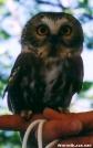 Saw Whet Owl by TJ aka Teej in Birds