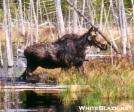 Scruffy cow moose by TJ aka Teej in Moose