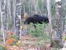 Bull Moose at Birches by TJ aka Teej in Moose