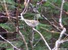 Golden Crowned Kinglet by TJ aka Teej in Birds