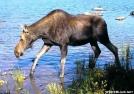 September Moose at Baxter by TJ aka Teej in Moose