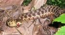 100 Mile Snake by TJ aka Teej in Snakes