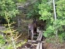 Moose In Baxter State Park
