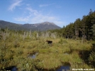 Moose at Katahdin