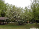 Gov Baxter's Apple Tree