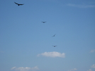 Vultures At Auburn Overlook 3 by dperry in Birds