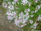 Cluster of Purple Stemmed Asters by grrickar in Flowers