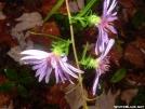 Purple Stem Aster by grrickar in Flowers