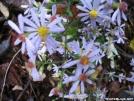 Purple Stemmed Asters by grrickar in Flowers