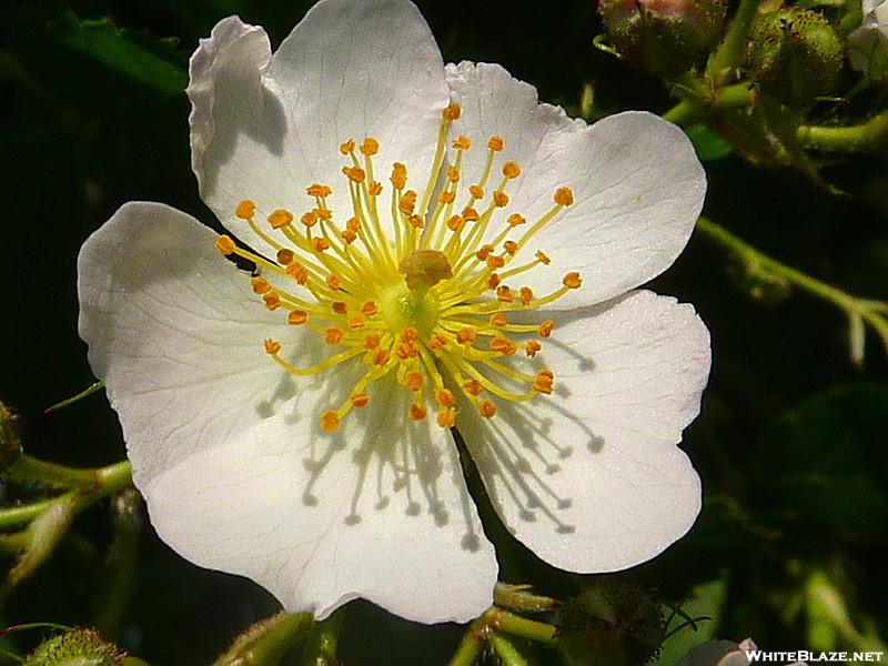 Sitton gulch cherokee rose whiteblaze gallery for Cherokee rose