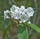 Mountain Laurel On At South Of Long Mtn. Wayside