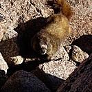 Marmot by TrailPossum in Other Trails
