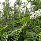 Hogweed? by coach lou in Flowers