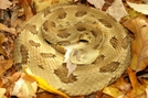 Yellow Timber Rattlesnake by Herpn in Snakes