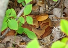 Copperhead In Leaves Near A Blueberry Bush Hunting by Herpn in Snakes