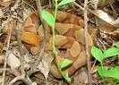 Orange Headed Copperhead Hot.. by Herpn in Snakes