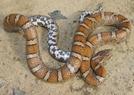 Milksnake by Herpn in Snakes
