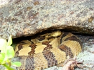 Timber Rattlesnake Under A Rock by Herpn in Snakes