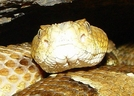 Timber Rattlesnake by Herpn in Snakes