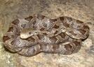 Juvenile Black Rat by Herpn in Snakes