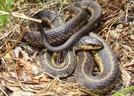 Garter by Herpn in Snakes